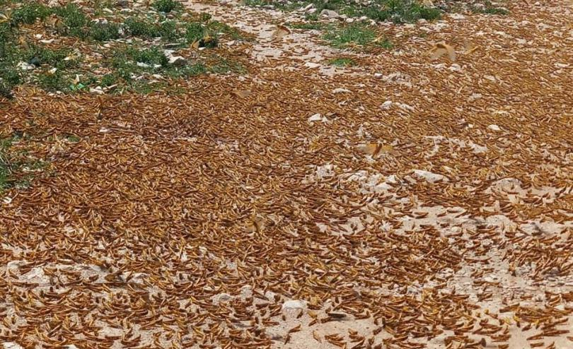 A new wave of locusts around farming area near Hargeisa, Somaliland.