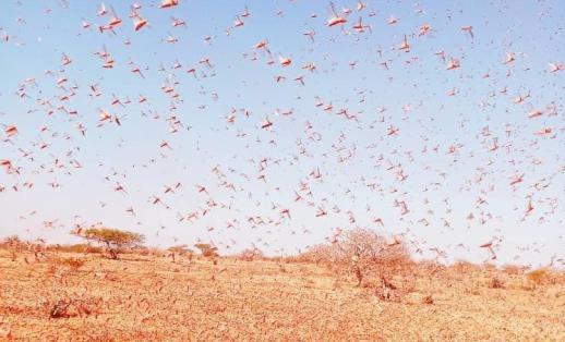 Locust infestation, Somalia